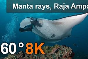 用蝠鲼潜水,拉贾·安帕特。海洋生物海底世界360度VR视频 (8K)【上下格式】