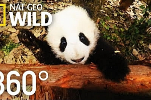 360°全景VR视频:《熊猫宝宝VR》全景360°视频下载2K